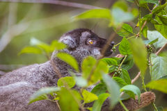Brown lemur eating Stock Photography