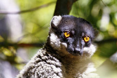 Brown Lemur (Eulemur fulvus fulvus), madagascar Royalty Free Stock Images