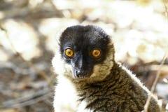 Brown Lemur (Eulemur fulvus fulvus), madagascar Royalty Free Stock Image