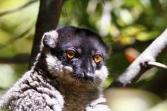 Brown Lemur (Eulemur fulvus fulvus), madagascar Royalty Free Stock Images