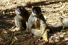 Brown Lemur (Eulemur fulvus fulvus), madagascar Royalty Free Stock Photo