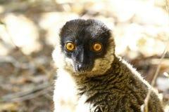 Brown Lemur (Eulemur fulvus fulvus), madagascar Stock Images