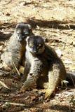 Brown Lemur (Eulemur fulvus fulvus), madagascar Stock Image