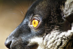 Brown Lemur (Eulemur fulvus fulvus), madagascar Stock Photography