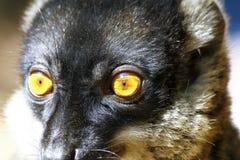 Brown Lemur (Eulemur fulvus fulvus), madagascar Stock Photo