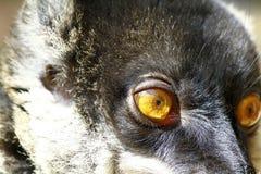 Brown Lemur (Eulemur fulvus fulvus) Stock Image