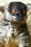 Brown Lemur (Eulemur fulvus fulvus) Royalty Free Stock Photography
