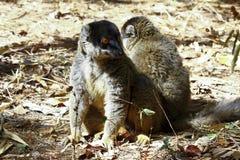 Brown Lemur (Eulemur fulvus fulvus) Stock Photos