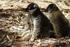 Brown Lemur (Eulemur fulvus fulvus) Stock Images