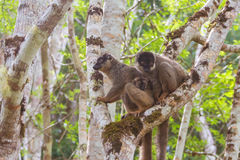 Brown lemur family Royalty Free Stock Images
