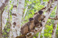 Brown lemur family Royalty Free Stock Photo