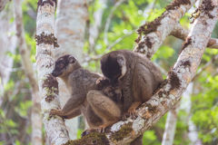 Brown lemur family Stock Photography