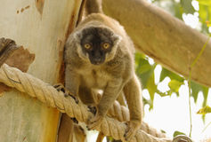 Brown lemur holds a tree Royalty Free Stock Photos