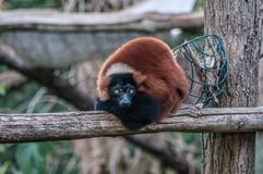 Brown Lemur jungle animal Madagascar stock photo