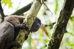 Brown lemur lying on the branch of a tree in Madagascar Royalty Free Stock Photography