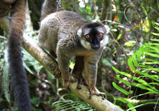 Brown Lemur Stock Photo