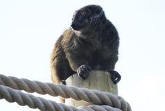 Brown lemur on pole Royalty Free Stock Photos