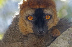 Brown lemur portrait Royalty Free Stock Photos