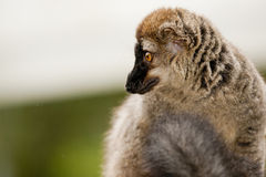 Brown lemur. Portrait looking left Stock Images