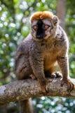 Brown lemur Stock Images