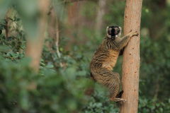Brown lemur Royalty Free Stock Photo