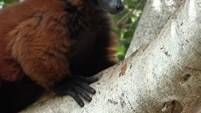 Brown Lemur In Tree. Stock video in 4k or HD resolution stock video footage