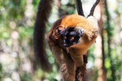 Brown lemur z dzieckiem Obraz Stock