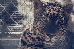 Brown Leopard on Chain Link Fence Royalty Free Stock Photos