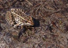 Brown-Leopard-Frosch Stockbild