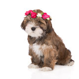 Brown lhasa apso puppy. Lhasa apso puppy on white Royalty Free Stock Image