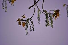 Brown liście z małymi zielonymi kumpel Zdjęcia Stock