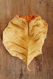 Brown liść Obrazy Royalty Free