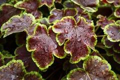 Brown liście heuchera Zdjęcie Stock