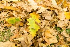 Brown liście na ziemi w jesieni Obraz Royalty Free