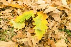 Brown liście na ziemi w jesieni Fotografia Royalty Free