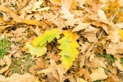 Brown liście na ziemi w jesieni Zdjęcia Stock