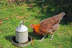 Brown Light Sussex Bantam chicken. Stock Image
