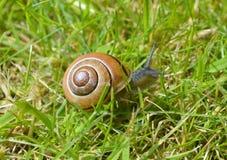Brown ślimaczek z Shell Cravling na Zielonej trawie Obrazy Stock