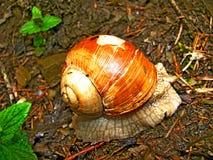 Brown ślimaczka wiosny las Zdjęcie Royalty Free