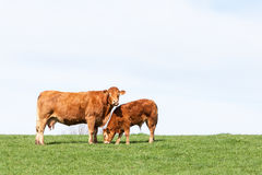 Brown Limousin beef cow and her grazing calf on the skyline agai Royalty Free Stock Photo