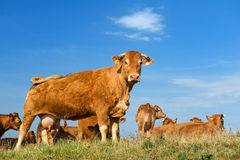 Brown Limousin cows Stock Photography