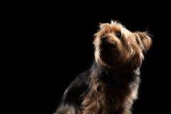 Brown lindo Yorkie Mutt Looking Upward sedoso foto de archivo