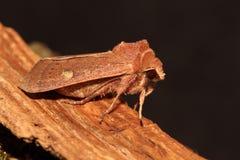 Brown-line bright-eye moth. Royalty Free Stock Photo