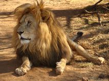Brown Lion royalty free stock photos