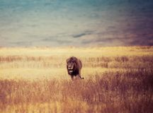Brown Lion Walking on Brown Withered Grass Field royalty free stock photos