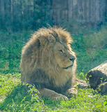 Brown lion at the zoo garden, green grass, sun rays, sitting, close up. Stock Images