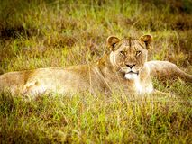 Brown Lioness Stock Image