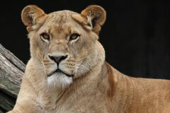 Brown Lioness Stock Photography