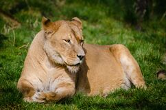 Brown Lioness Laying on Green Grass during Daytime Stock Image