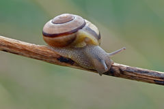 Brown-lipped snail. The brown-lipped snail (Cepaea nemoralis) on a bent royalty free stock photo